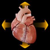 anatomia umana del cuore