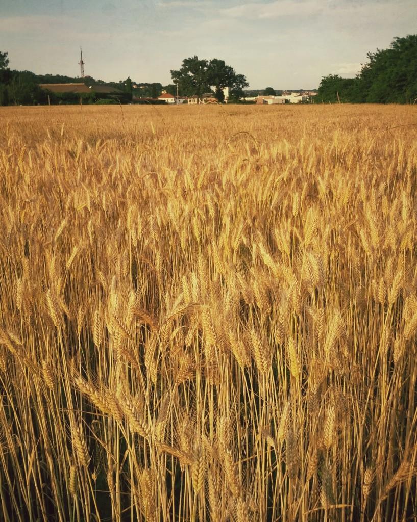 Il pattern ripetuto del grano attira lo sguardo e infonde calma e regolarità