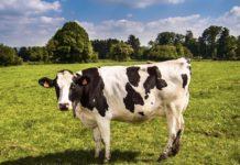 Il 5G arriva prima per le mucche connesse che per gli umani In Inghilterra