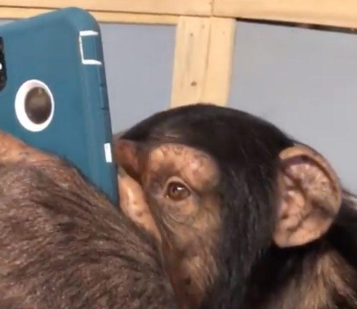 Scimpanzé usa Instagram come sai fare tu, il video è virale