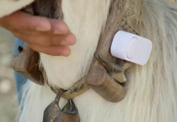 Da un pastore calabrese il collare anti-lupo per tenere lontani i predatori con gli ultrasuoni