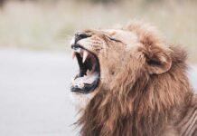 L'Intelligenza Artificiale ha permesso di individuare unicità nei ruggiti dei leoni
